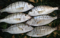 STRIPED SEABREAM